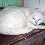SPA chat à adopter Blanco
