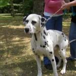 SPA chien à adopter Dorémi