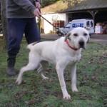 SPA chien à adopter Diana