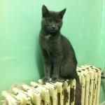 SPA chat à adopter Berlioz