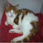 SPA chat à adopter Chouchou