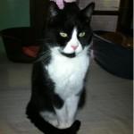 SPA chat à adopter Félix- Noireau