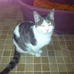 SPA chat à adopter Mignon