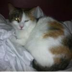 SPA chat à adopter Léa