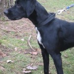 SPA chien à adopter Lilo