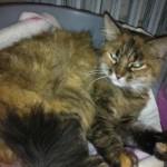 SPA chat à adopter Nala