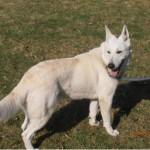 SPA chien à adopter Gandalph