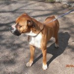 SPA chien à adopter Brasko