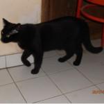 SPA chat à adopter Cachou