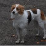 SPA chien à adopter Rouquine