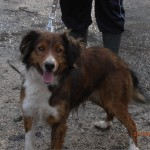 SPA chien à adopter Hercule