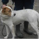 SPA chien à adopter Lassie