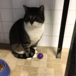 SPA chat à adopter Didou