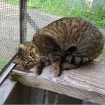 SPA chat à adopter Tigrou