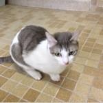 SPA chat à adopter Bibiche