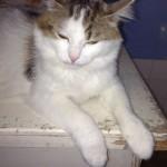 SPA chat à adopter Mimiche
