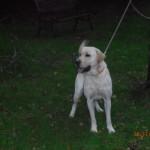 SPA chien à adopter Sam