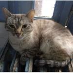 SPA chat à adopter Chouquine