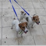 SPA chien à adopter Fripouille et Furax