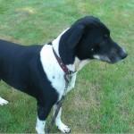 SPA chien à adopter Gypsie