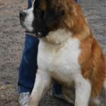 SPA chien à adopter Hasko