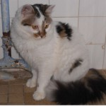 SPA chat à adopter Canaille