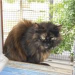 SPA chat à adopter Lili