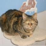 SPA chat à adopter Nénette