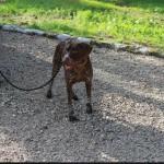 SPA chien à adopter Aku  ADOPTE