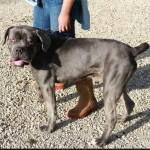 SPA chien à adopter Genko