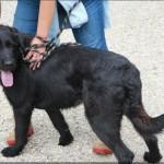 SPA chien à adopter Tornade