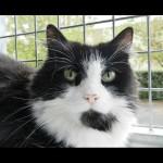 SPA chat à adopter Gisèle