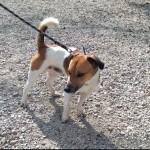 SPA chien à adopter Spirou ADOPTE