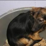 SPA chien à adopter Ari ADOPTE