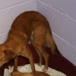 SPA chien à adopter Tébeau ADOPTE