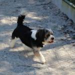 SPA chien à adopter Ichiro ADOPTE