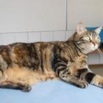 SPA chat à adopter Piou-Piou ADOPTEE
