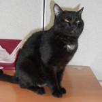 SPA chat à adopter Zouzou ADOPTE