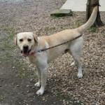 SPA chien à adopter Sam ADOPTE