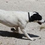 SPA chien à adopter Dodo