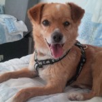 SPA chien à adopter Piku ADOPTE