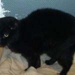 SPA chat à adopter Bilou ADOPTE