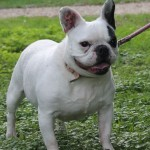 SPA chien à adopter Dadou