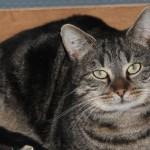 SPA chat à adopter Kiki ADOPTE