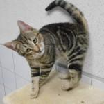 SPA chat à adopter Calou ADOPTE