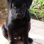 SPA chien à adopter Chiots labrador ADOPTES