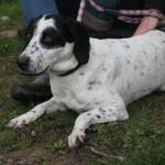 SPA chien à adopter Dodo Adoptée