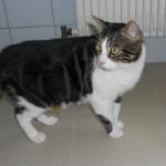 SPA chat à adopter Balou ADOPTE
