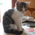 SPA chat à adopter Blancheline ADOPTEE