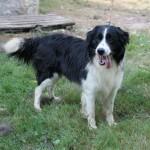 SPA chien à adopter Blako ADOPTE